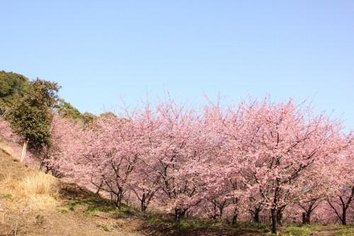 3月末は河津桜がとてもきれいです。