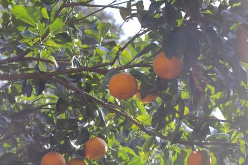 みかんだけでなく、沢山の柑橘類がなっています。販売も収穫体験も出来ます。