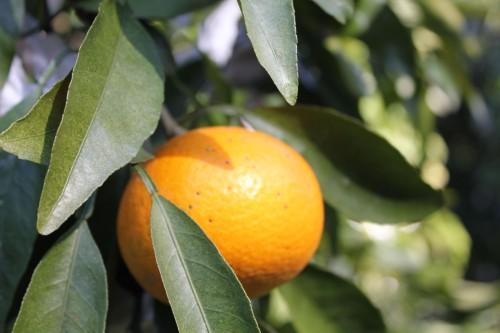 みかんを始めとする柑橘類の収穫体験が出来ます。