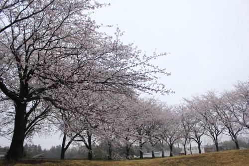 春には桜並木の下でお花見キャンプを楽しめます。