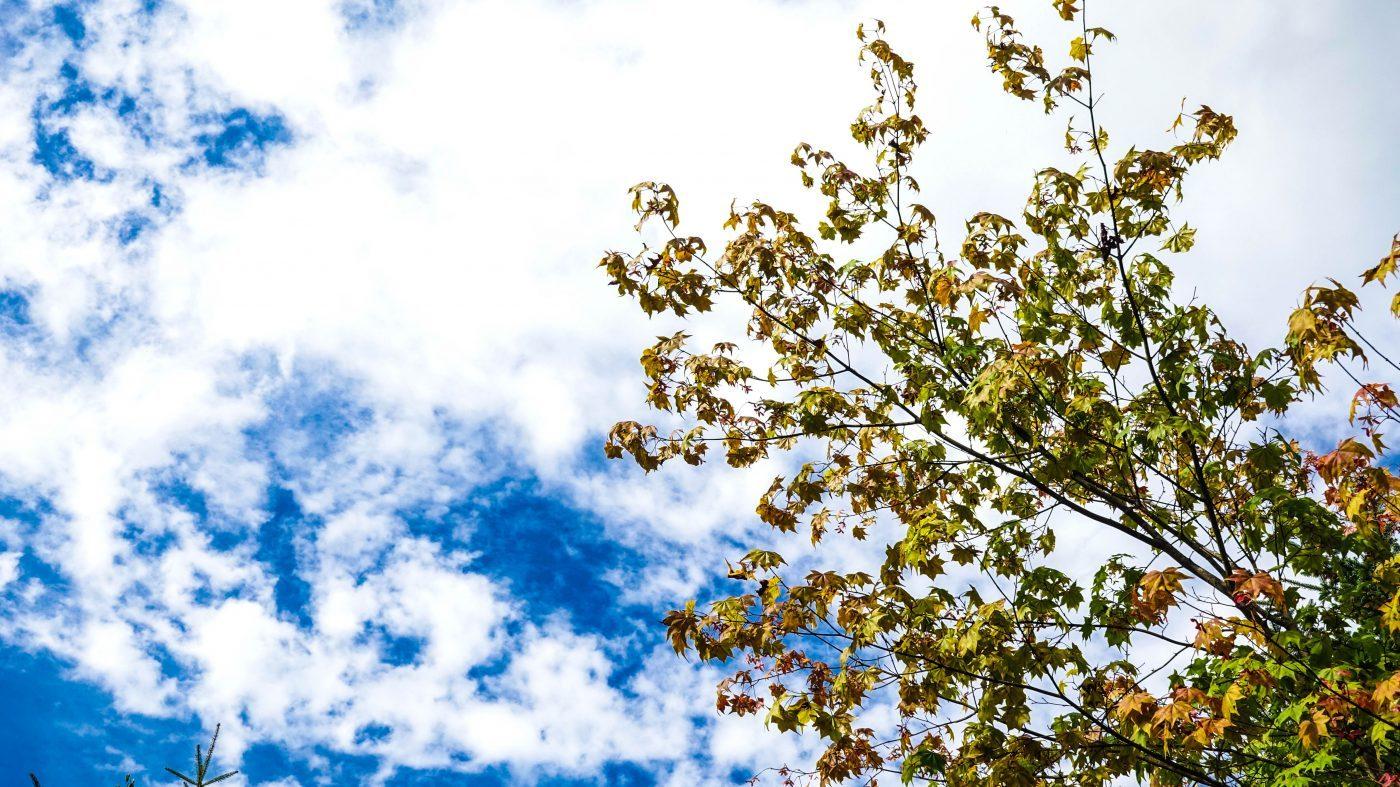紅葉が始まったカエデ。秋ですね。