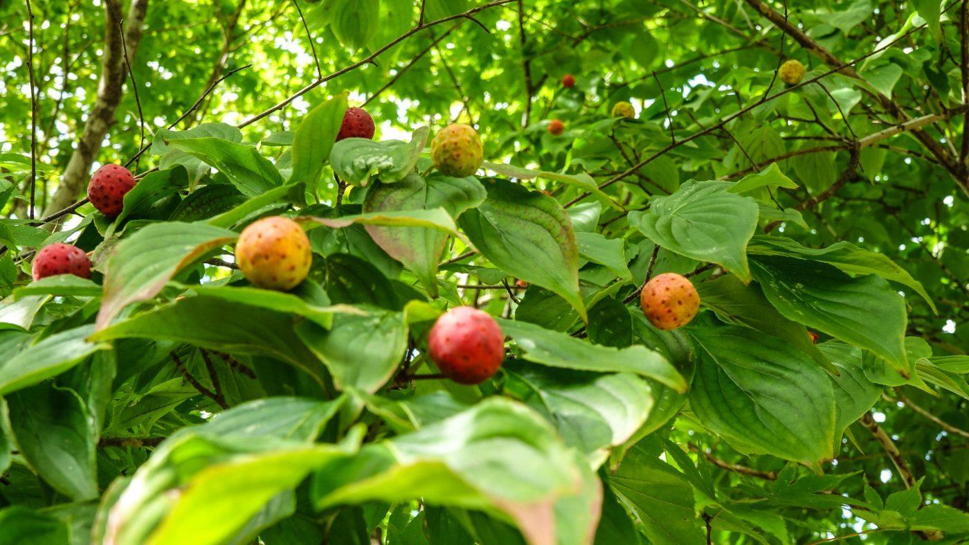 木の実がそこかしこの木に実っています。