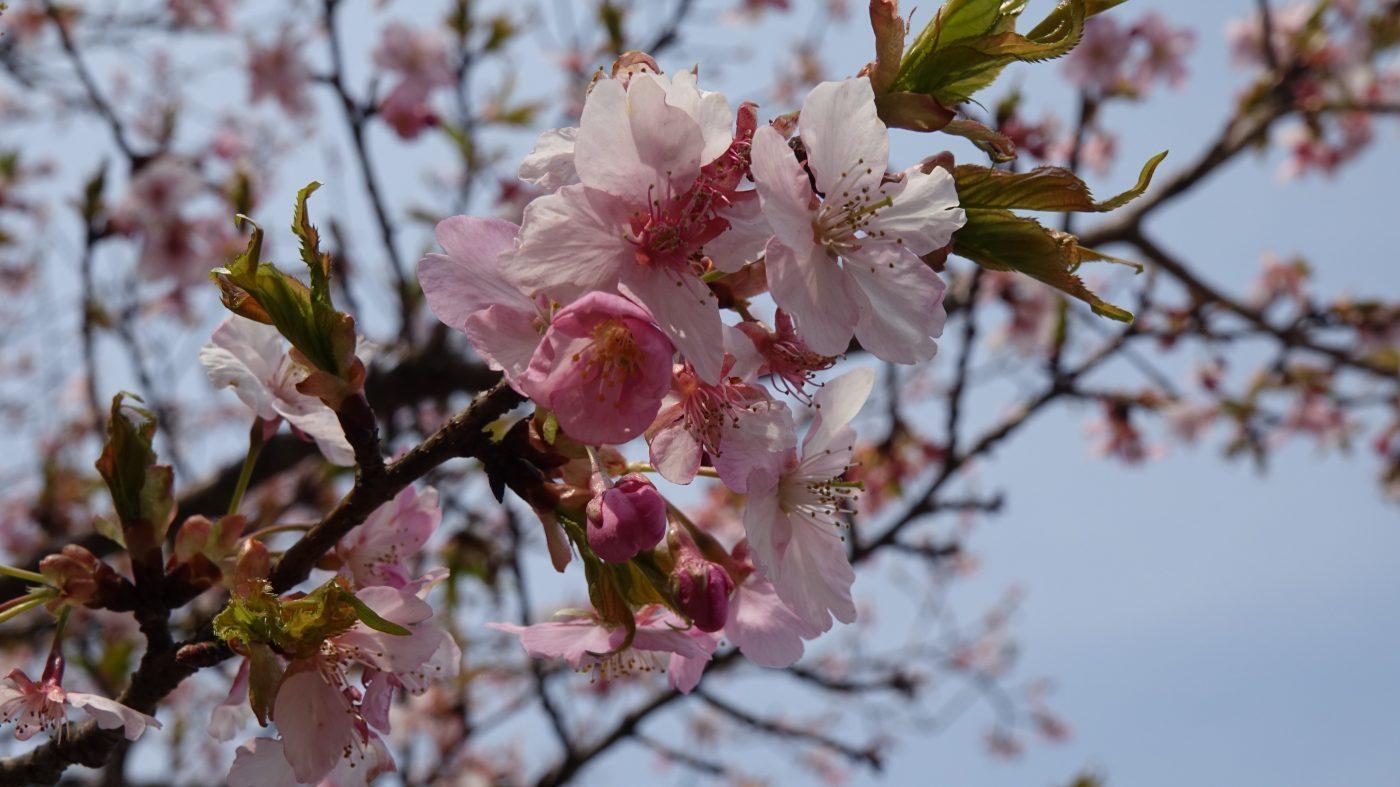 道志川と桜
